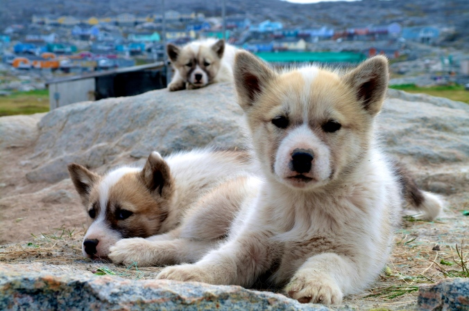 Grönländska slädhundar
